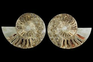 "Buy 10.7"" Daisy Flower Ammonite (Choffaticeras) - Madagascar - #157525"