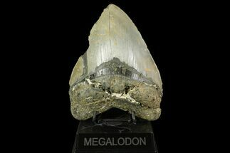 "Massive, 6.09"" Fossil Megalodon Tooth - North Carolina For Sale, #158240"