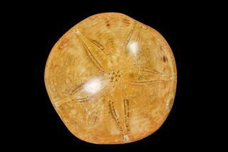 "Buy 3.2"" Polished Fossil Sand Dollar (Mepygurus) - Jurassic - #158089"