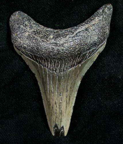 "2.26"" Juvenile Megalodon Tooth - South Carolina"