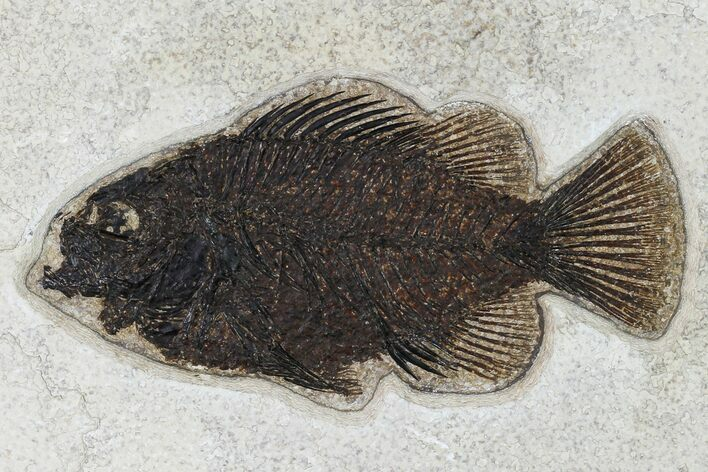 "4.9"" Fossil Fish (Cockerellites) - Wyoming"