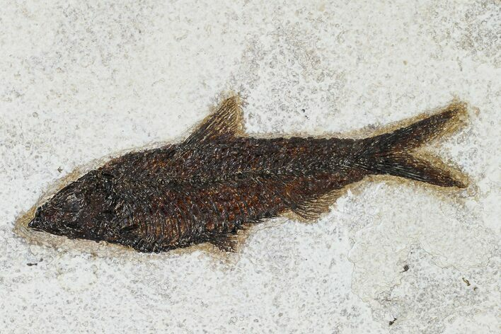 "5.5"" Detailed Fossil Fish (Knightia) - Wyoming"