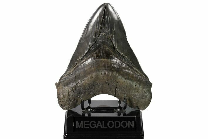 "Serrated, 5.78"" Fossil Megalodon Tooth - Huge Tooth"