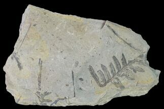Alethopteris sp. - Fossils For Sale - #158550