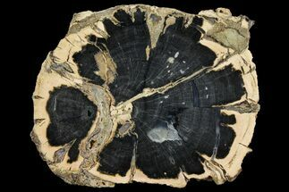 Schinoxylon sp. - Fossils For Sale - #158889