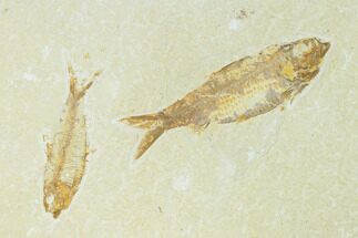 Pair of Fossil Fish (Knightia) - Green River Formation For Sale, #159002