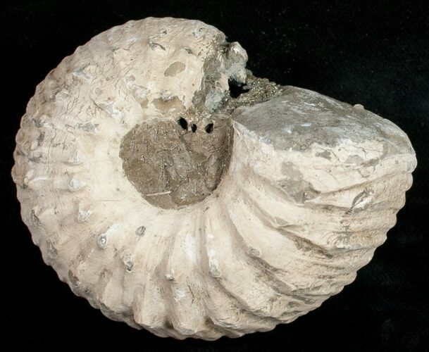 "2.9"" Liparoceras Ammonite - Very 3D"