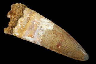 "Buy 2.62"" Spinosaurus Tooth - Real Dinosaur Tooth - #159196"
