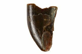 "Buy Bargain, .4"" Raptor Tooth - Real Dinosaur Tooth - #158953"