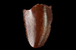 "Bargain, .4"" Raptor Tooth - Real Dinosaur Tooth For Sale, #158957"