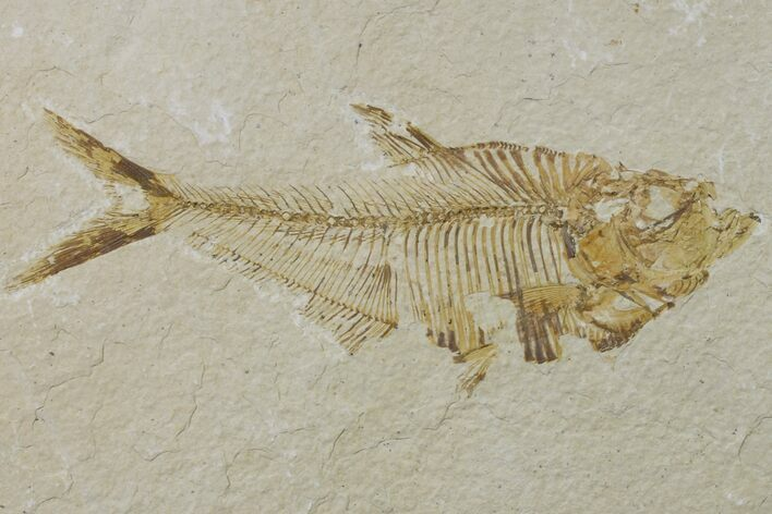 "Bargain, 4.4"" Fossil Fish (Diplomystus) - Wyoming"