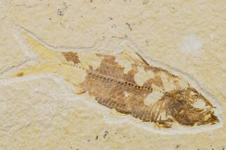 "Buy 3.4"" Fossil Fish (Knightia) - Wyoming - #159556"