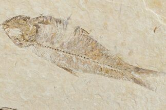"Buy 3.6"" Fossil Fish (Knightia) - Wyoming - #159565"