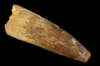 "Buy 1.59"" Spinosaurus Tooth - Real Dinosaur Tooth - #159931"