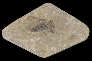 Plecia pealei - Fossils For Sale - #154491