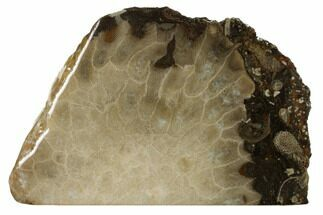 "Buy 4.4"" Free-Standing, Petoskey Stone (Fossil Coral) Section - Michigan - #160261"