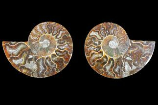Cleoniceras - Fossils For Sale - #145926
