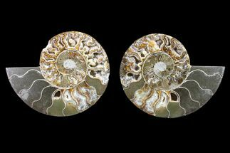 "Buy Bargain, 5.7"" Cut & Polished Ammonite Fossil (Pair) - Madagascar - #148018"