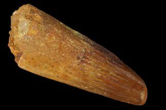 "1.41"" Spinosaurus Tooth - Real Dinosaur Tooth For Sale, #160595"