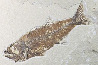 "Buy 8.2"" Fossil Fish (Mioplosus) - Uncommon Species - #161365"