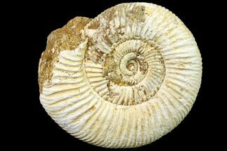 "3"" Jurassic Ammonite (Perisphinctes) Fossil - Madagascar For Sale, #161729"