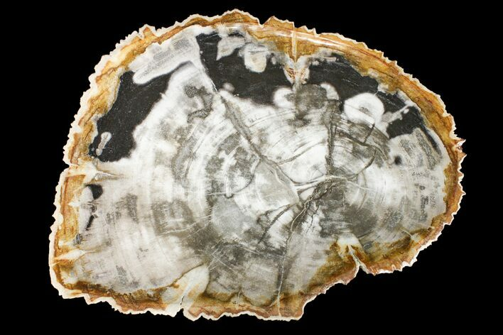 "12.1"" Tropical Hardwood Petrified Wood Dish - Indonesia"