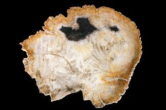 "Buy 12.6"" Tropical Hardwood Petrified Wood Dish - Indonesia - #160978"