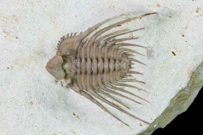 ".9"" Kettneraspis Trilobite With Brachiopod - Black Cat Mountain"