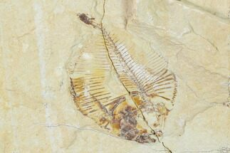 Diplomystus birdi - Fossils For Sale - #162699