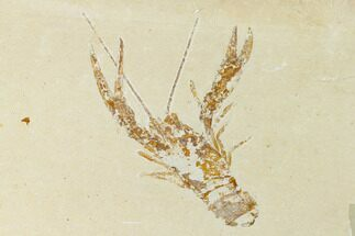 Pseudostacus hakeliensis (Lobster) & Geocoma sp.? (Brittle Stars) - Fossils For Sale - #162774