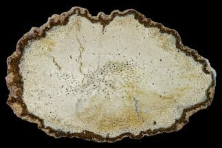 Palmoxylon sp. - Fossils For Sale - #162894