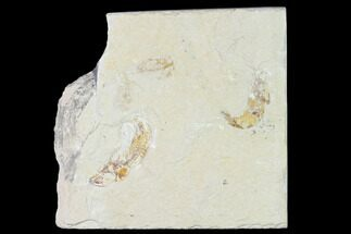 Gaudryella sp. (Fish) & Carpopenaeus sp. (Shrimp) - Fossils For Sale - #162834
