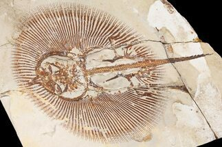 Cyclobatis sp. - Fossils For Sale - #163095