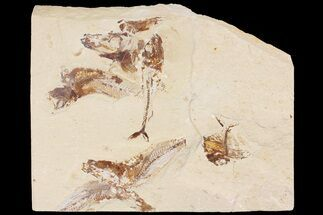 "Buy 9.5"" Cretaceous Fossil Fish Association - Hakel, Lebanon - #163102"