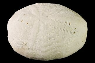"2"" Fossil Sea Urchin (Eupatagus) - Florida For Sale, #161282"