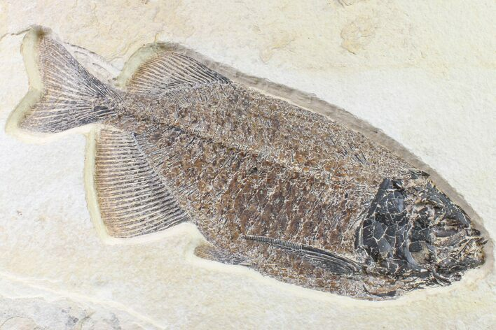 "10.9"" Beautiful Fossil Fish (Phareodus) - Wyoming"