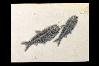 Buy Two Detailed Fossil Fish (Knightia) - Wyoming - #163438
