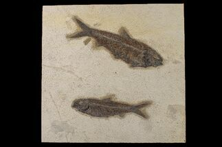 Buy Two Large, Detailed Fossil Fish (Knightia) - Wyoming - #163444