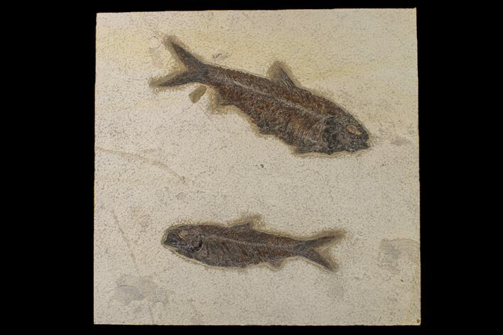 Two Large, Detailed Fossil Fish (Knightia) - Wyoming