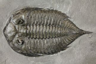 "2.35"" Dalmanites Trilobite Fossil  - New York For Sale, #163589"