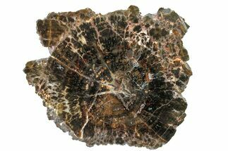 "Buy 4"" Triassic Petrified Wood (Conifer) End Cut - Utah - #163660"