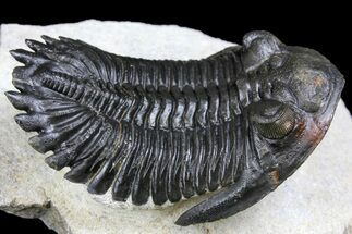 "Buy 2.6"" Flying Hollardops Trilobite - Ofaten, Morocco - #163687"