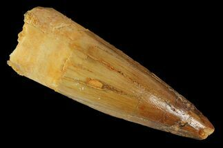 "1.72"" Spinosaurus Tooth - Real Dinosaur Tooth For Sale, #163769"