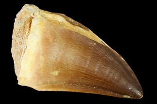 "Large, 2.2"" Mosasaur (Prognathodon) Tooth For Sale, #163706"