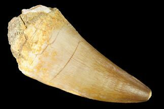 "Large, 2.4"" Mosasaur (Prognathodon) Tooth For Sale, #163709"