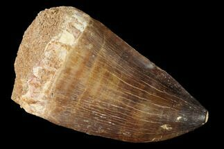 Prognathodon sp. - Fossils For Sale - #163713