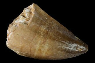 Prognathodon sp. - Fossils For Sale - #164205