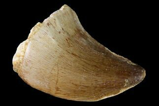 "Buy 1.55"" Fossil Mosasaur (Prognathodon) Tooth - Morocco - #164212"