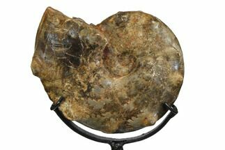 "Buy 5"" Cretaceous Ammonite (Mammites) With Metal Stand - Morocco - #164230"