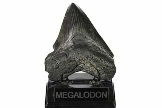 Carcharocles megalodon - Fossils For Sale - #164292